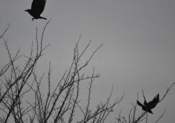 photo-corbeaux-hitchcock-theme-voler-de2edc98daf3377d5976196234bb62d774ea4b61