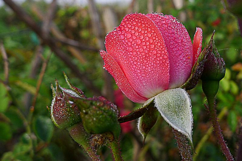 rose_800_20121006-8284263cdf001ac43e385538fdb9c6b94105d81f