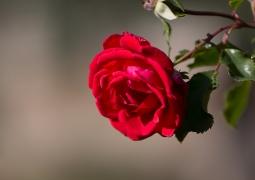 rose-6eeda543296bc680825d56e4692b33741eb5c96f