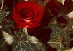 rose-web-6ec469089ee7f6b3606db9b1c882974dc2ed633f