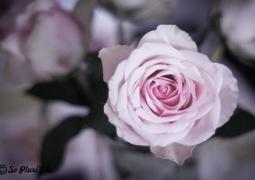 rose1-1-sur-1-aaf44b0411cff5ee707c25ba38869f6cbc1abd00