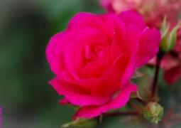 rose_800x600-faa77a380719f58dfec7f71b7327fa97e1216db0