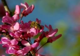 arbre-de-judee-et-abeille-red-7debf5ba6004eb00361d9e3a88dec122bee61ad4