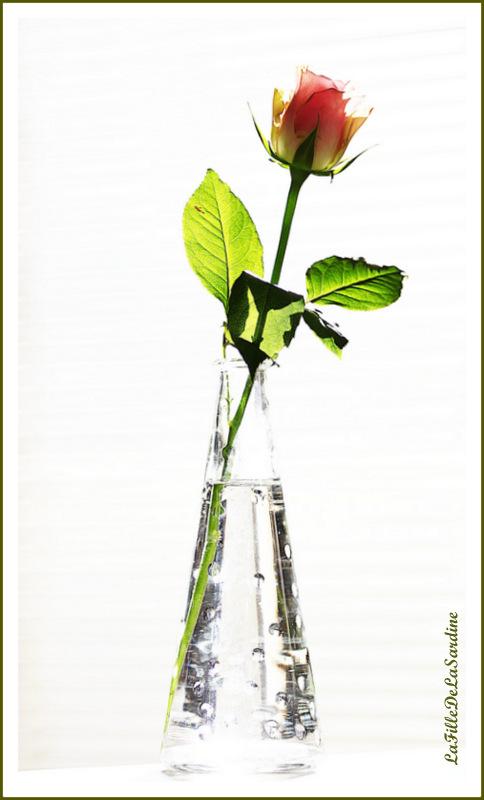 rose2-012f26e032970db952e7ebaab028266fe9d15f0e