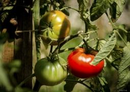 luzymu-ete-tomatedanstoussesetats-30-52-cf6c62370025c859c48e23361fe2a77fe3d4031d